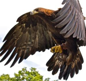 Golden_Eagle_in_flight_-_5 copy